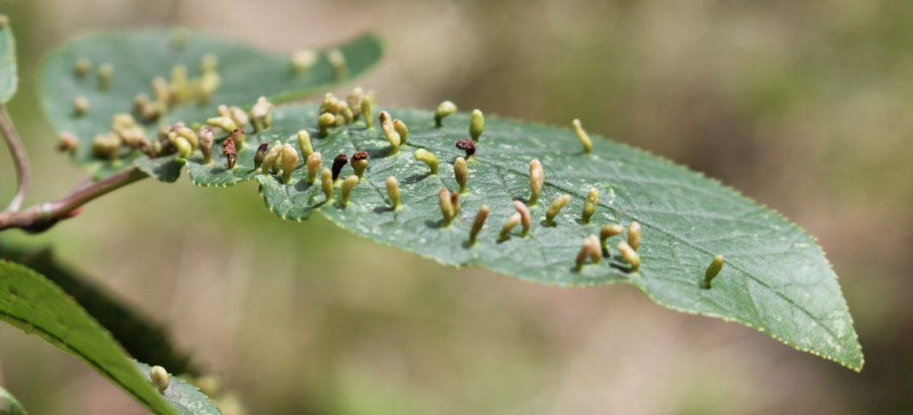 Лист черёмухи (Prunus padus) поврежденные черёмуховым галловым клещом (Phyllocoptes eupadi)