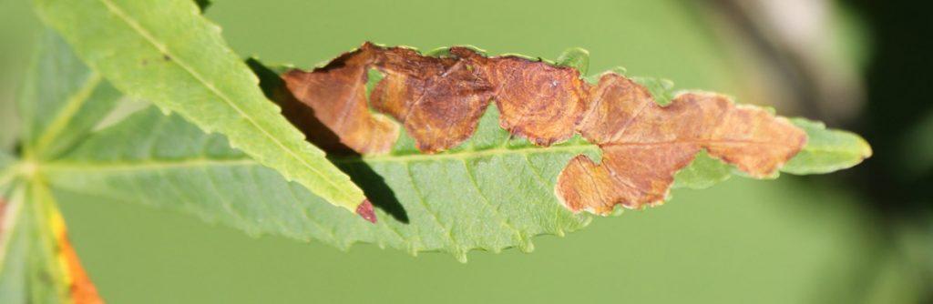 Конский каштан сорт Digitata (Aesculus hippocastanum Digitata). Повреждение каштановой минирующей молью (Cameraria ohridella).