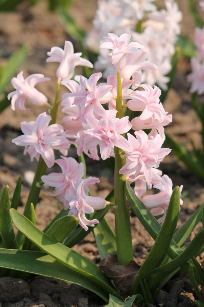 Гиацинт 'Chestnut Flower'