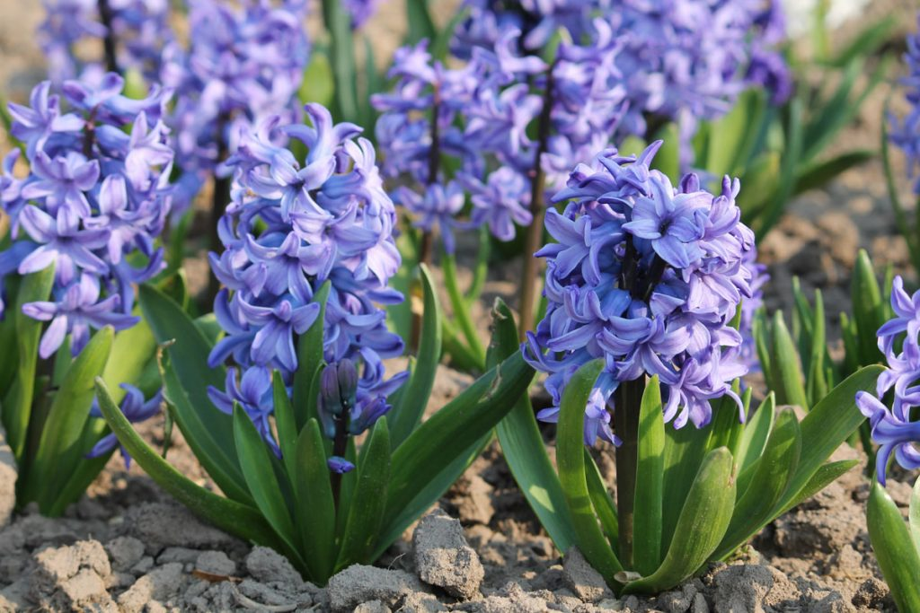 Гиацинт 'Delft Blue'