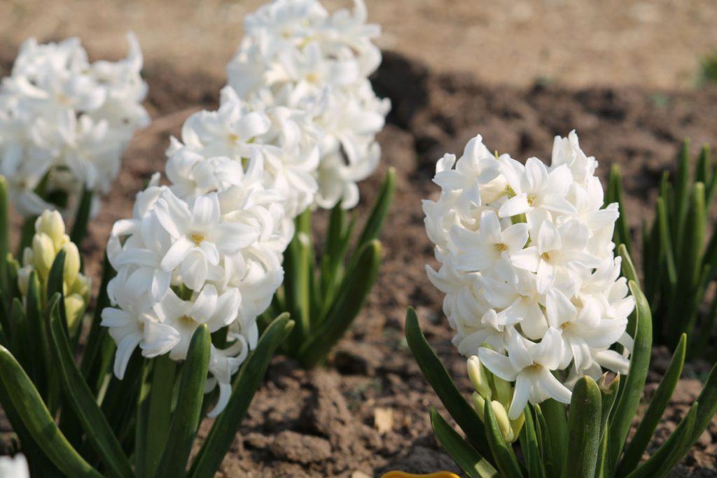 Гиацинт 'Top White'