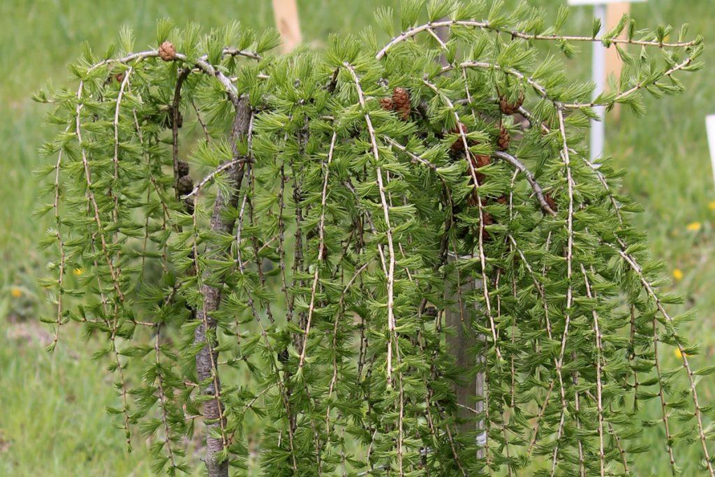 Лиственница европейская 'Pendula' (Larix decidua 'Pendula')