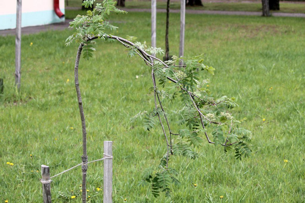 Рябина обыкновенная 'Pendula' (Sorbus aucuparia 'Pendula')