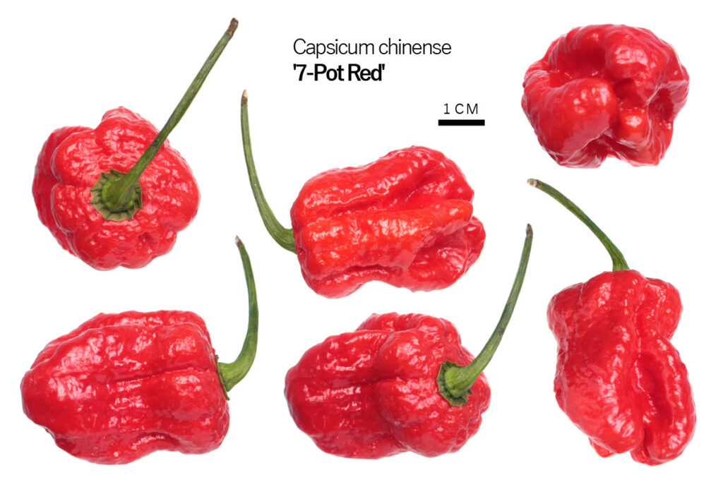 Перец '7-Pot Red'