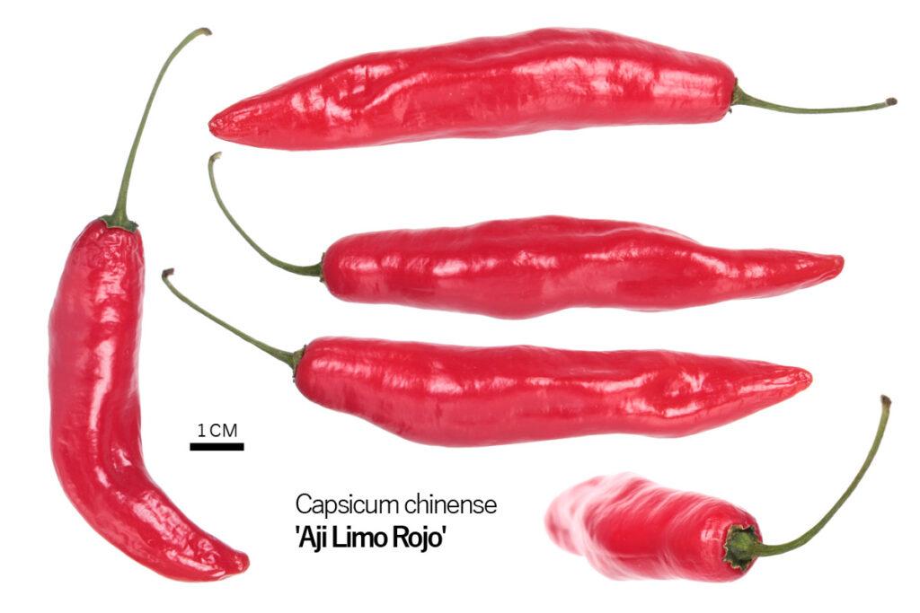 Перец 'Aji Limo Rojo'