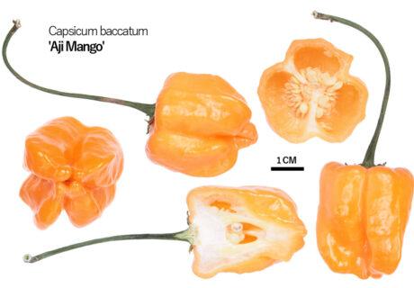 Перец 'Aji Mango'