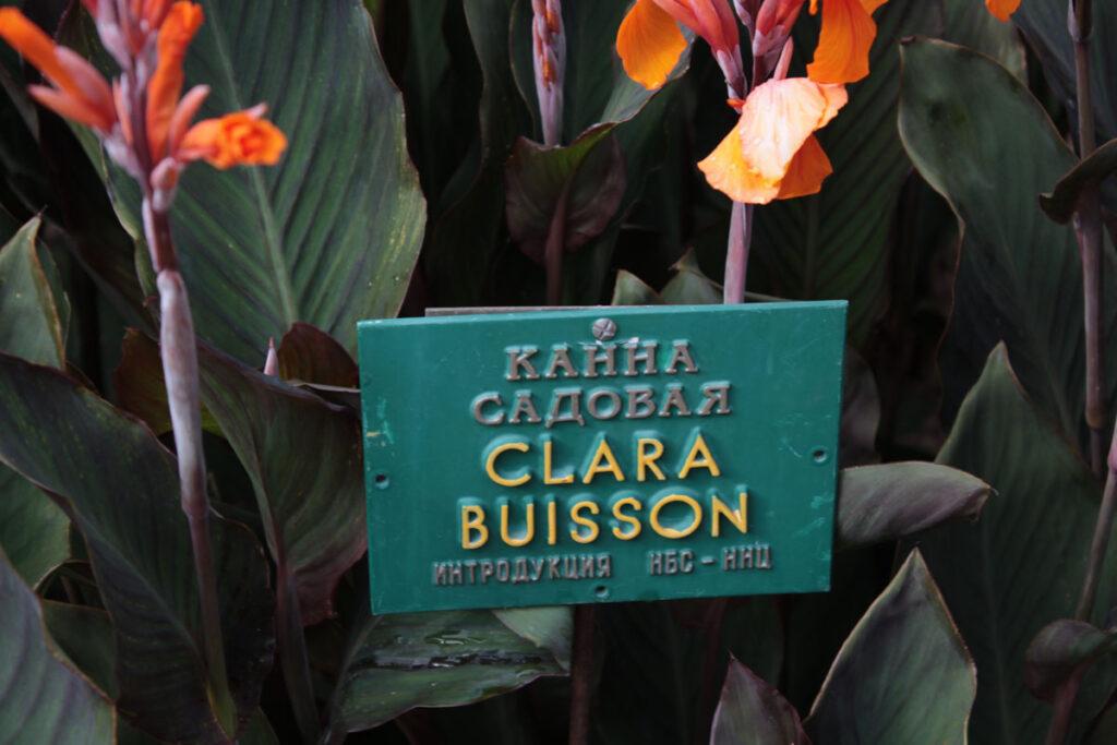 Канна 'Clara Buisson'