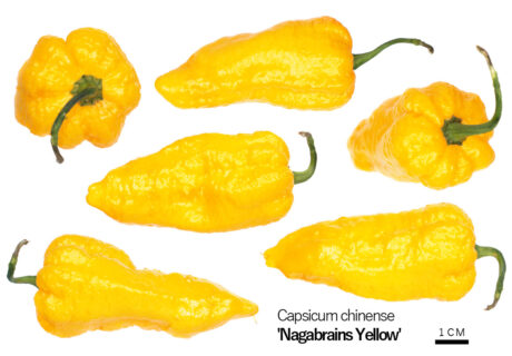 Перец 'Nagabrains Yellow'