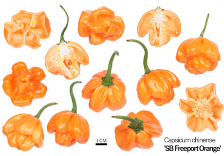 Перец 'Scotch Bonnet Freeport Orange'