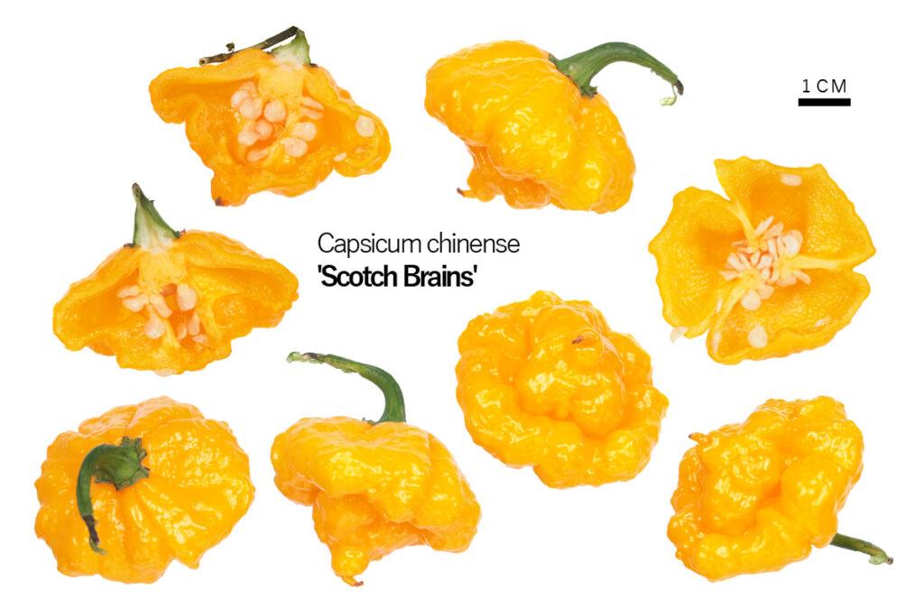 Перец 'Scotch Brains'