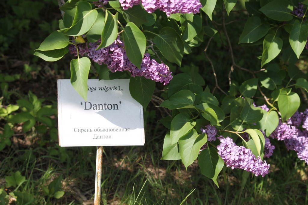 Сирень обыкновенная 'Danton'