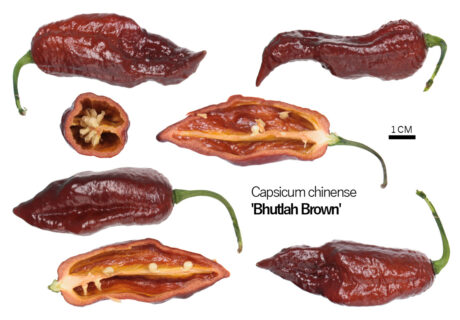 Перец 'Brown Bhutlah'