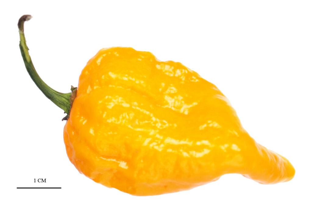 Перец 'Bonda Mahala'