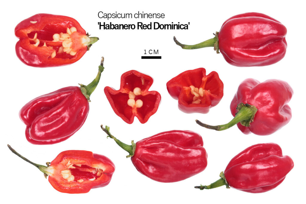 Перец 'Habanero Red Dominica'