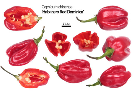 Перец 'Habanero Red Dominica'
