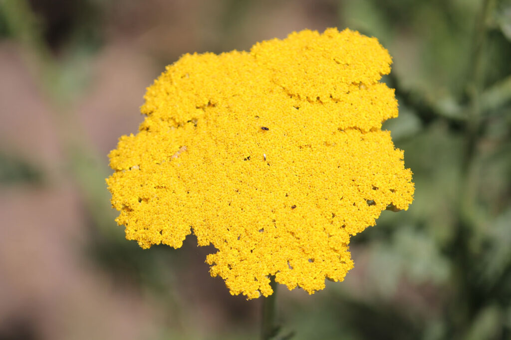Тысячелистник таволговый (Achillea filipendulina)