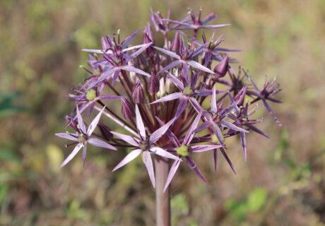 Лук Кристофа (Allium cristophii)