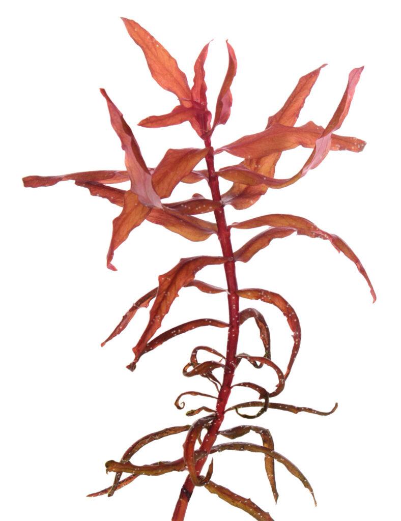 Аммания грацилис, или Аммания изящная (Ammania gracilis)