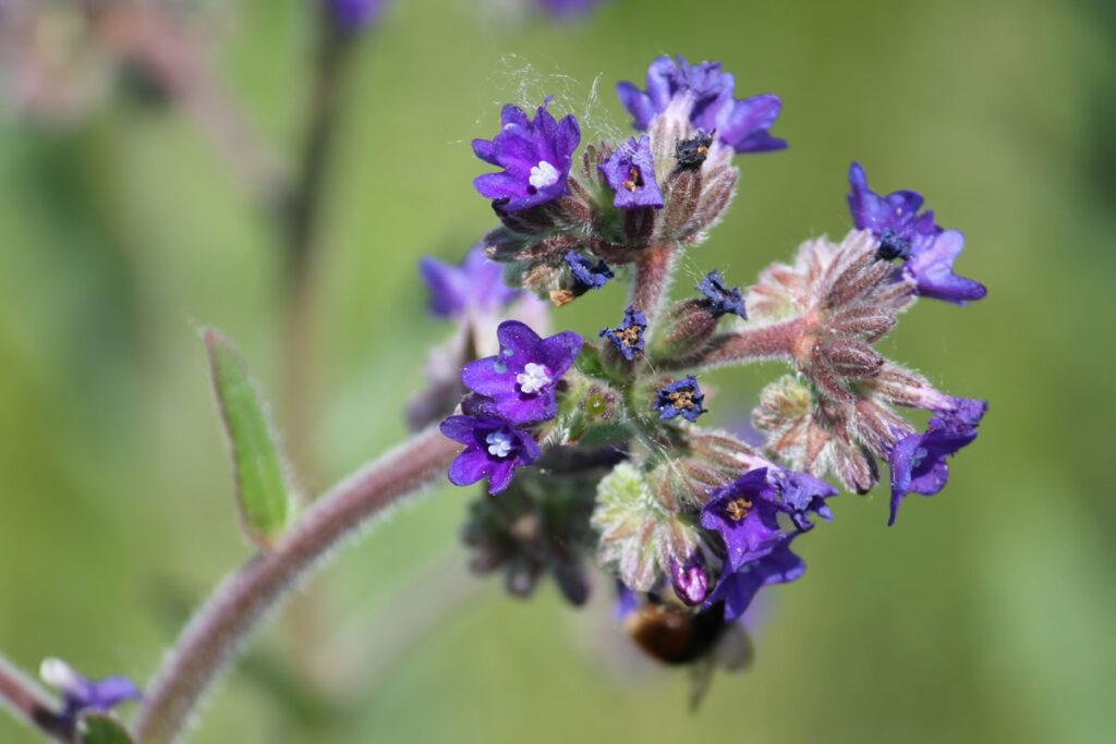 Воловик лекарственный, или Анхуза лекарственная (Anchusa officinalis)