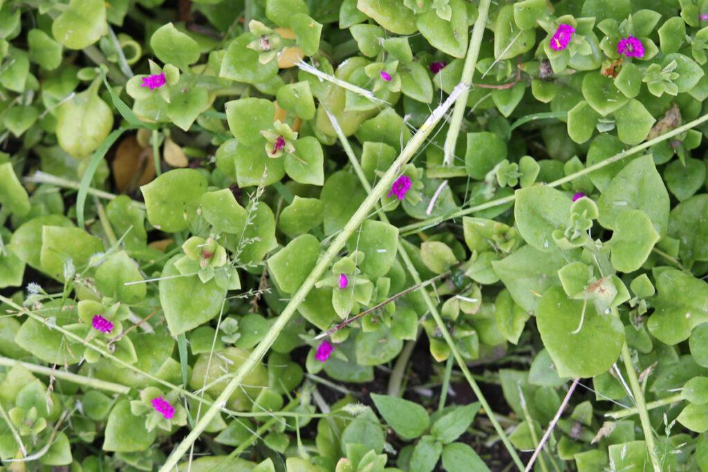 Аптения сердцелистная, или Мезембриантемум сердцелистный (Mesembryanthemum cordifolium)