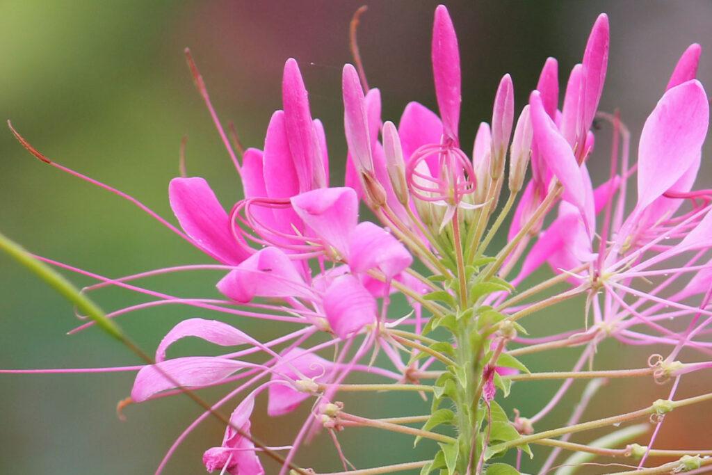 Клеома колючая (Cleome spinosa, Cleome hassleriana)