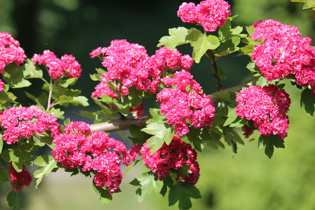 Боярышник 'Paul's Scarlet' (Пауль Скарлет, Crataegus 'Paul's Scarlet')