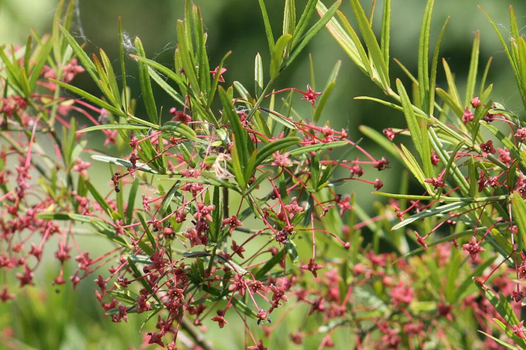 Бересклет карликовый (Euonymus nanus)