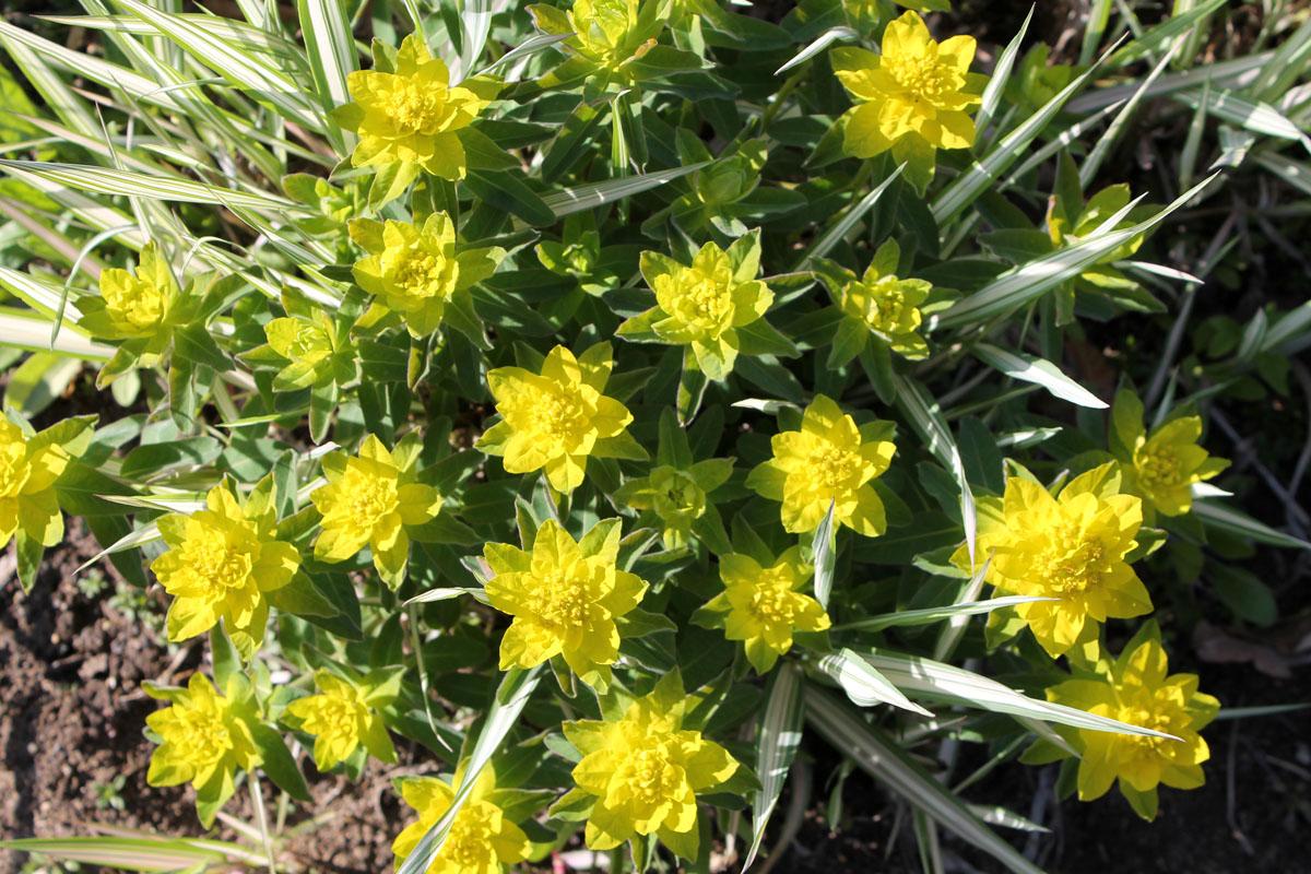 Молочай многоцветковый (Euphorbia epithymoides, =Euphorbia polychroma)