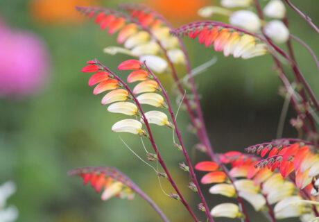 Квамоклит лопастный, или Ипомея лопастная (Ipomoea lobata)