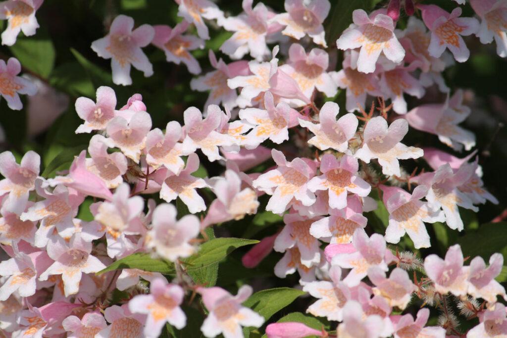Кольквиция прелестная (Kolkwitzia amabilis)