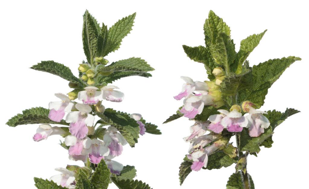 Кадило мелиссолистное, или Кадило сарматское (Melittis melissophyllum)