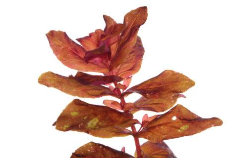 Ротала крупнотычинковая, или Ротала макрандра (Rotala macrandra)