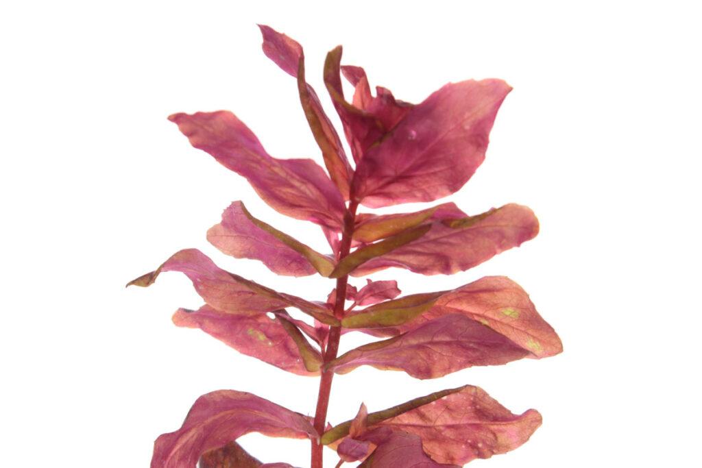 Ротала макрандра, или Ротала крупнотычинковая (Rotala macrandra)