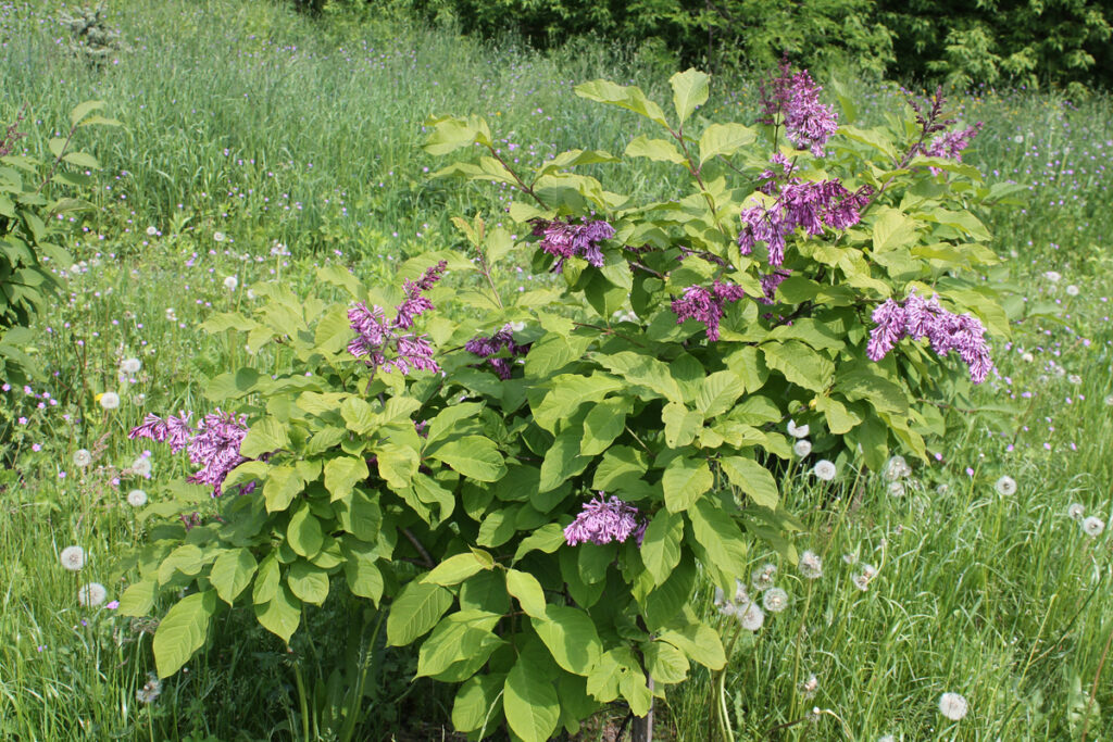 Сирень Престон (Syringa × prestoniae)