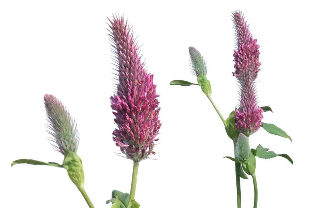 Клевер красный, или Клевер красноватый (Trifolium rubens)