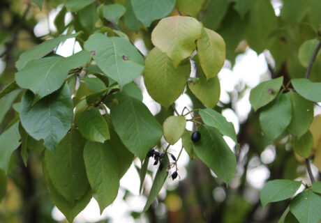 Калина канадская (Viburnum lentago)