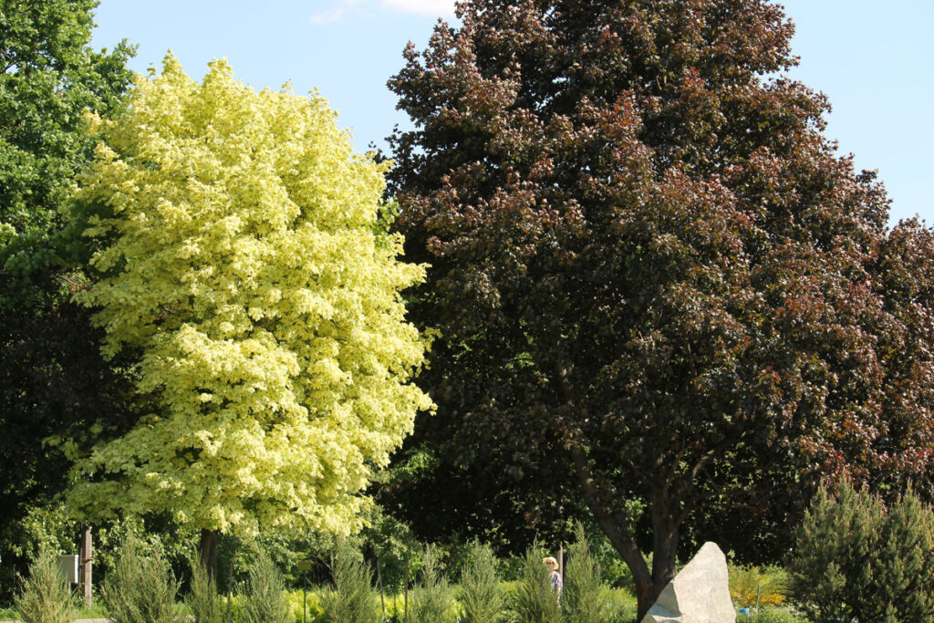 Клён остролистый 'Drummondii' и 'Crimson King'(Acer platanoides 'Drummondii' и Acer platanoides 'Crimson King')