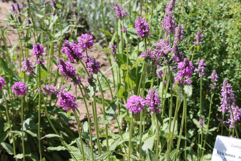 Буквица лекарственная (Betonica officinalis)