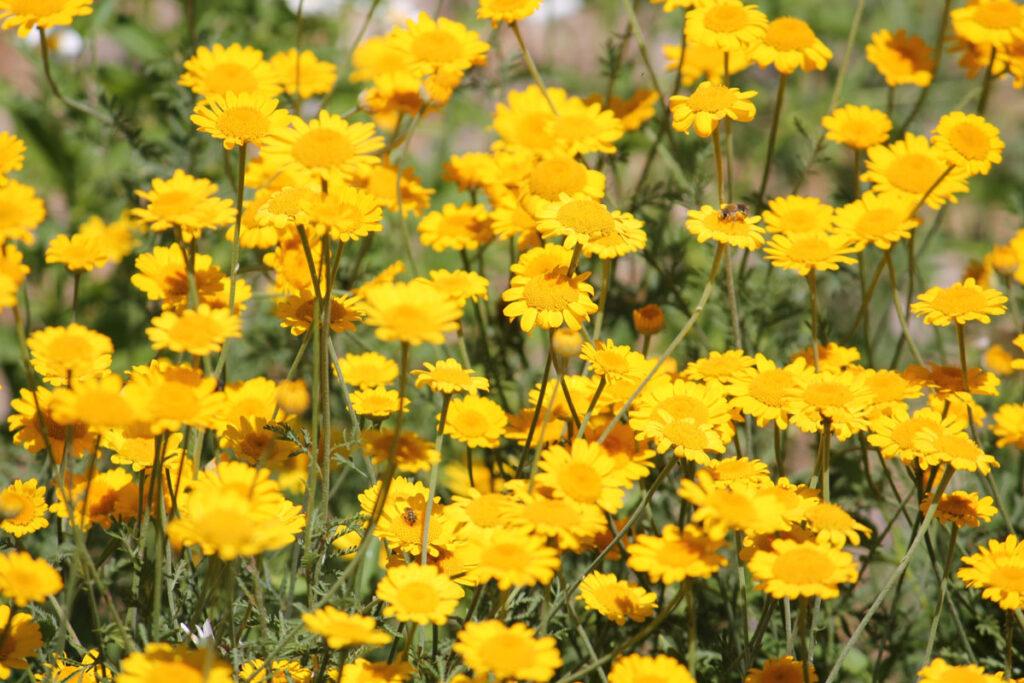 Пупавка красильная (Cota tinctoria, =Anthemis tinctoria)