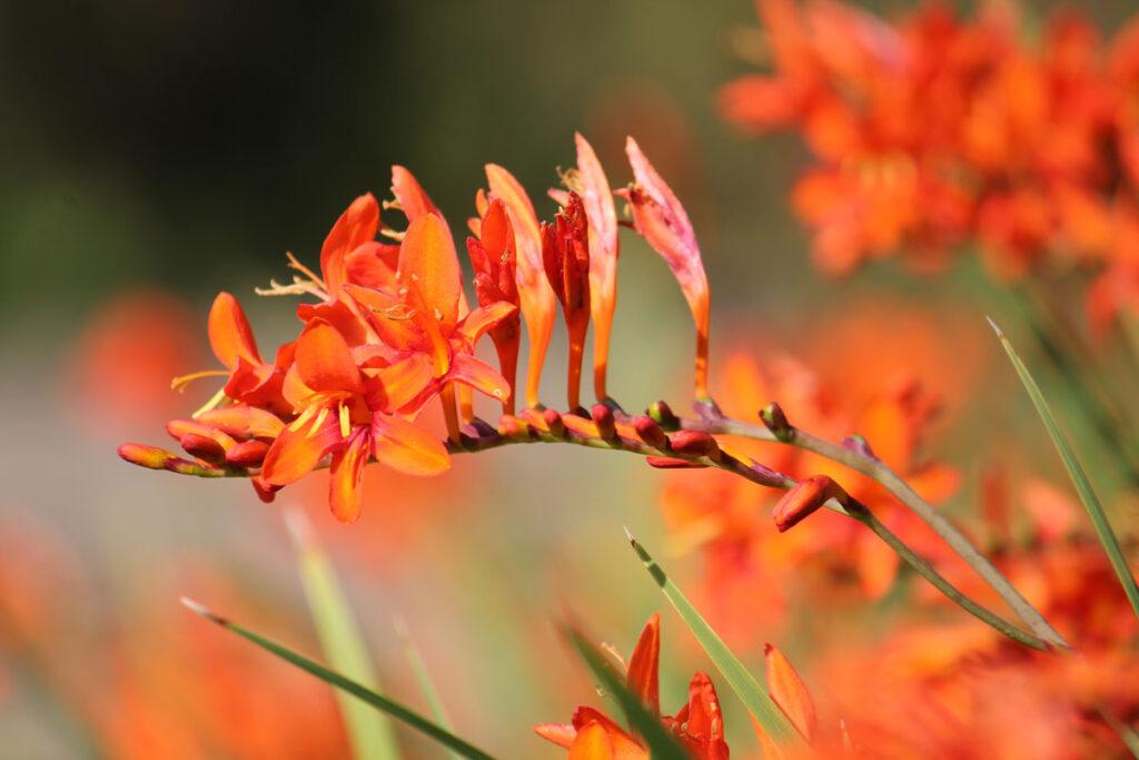 Крокосмия обыкновенная, или Монтбреция садовая (Crocosmia x crocosmiiflora)