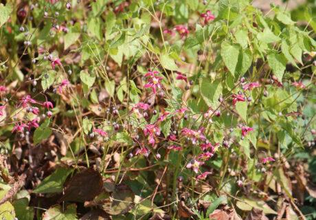 Горянка красная (Epimedium × rubrum)
