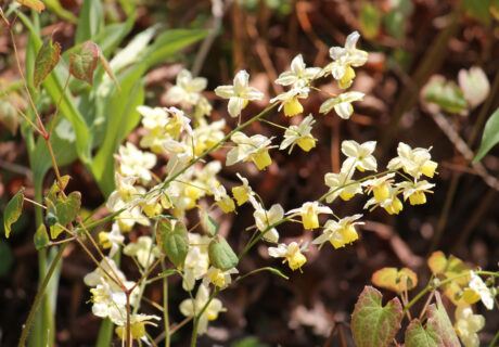 Горянка разноцветная 'Sulphureum' (Epimedium × versicolor 'Sulphureum')