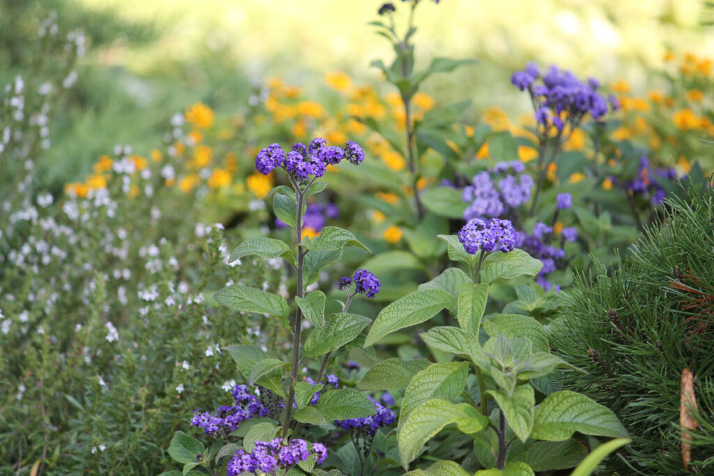 Гелиотроп перуанский (Heliotropium arborescens, =Heliotropium peruvianum)