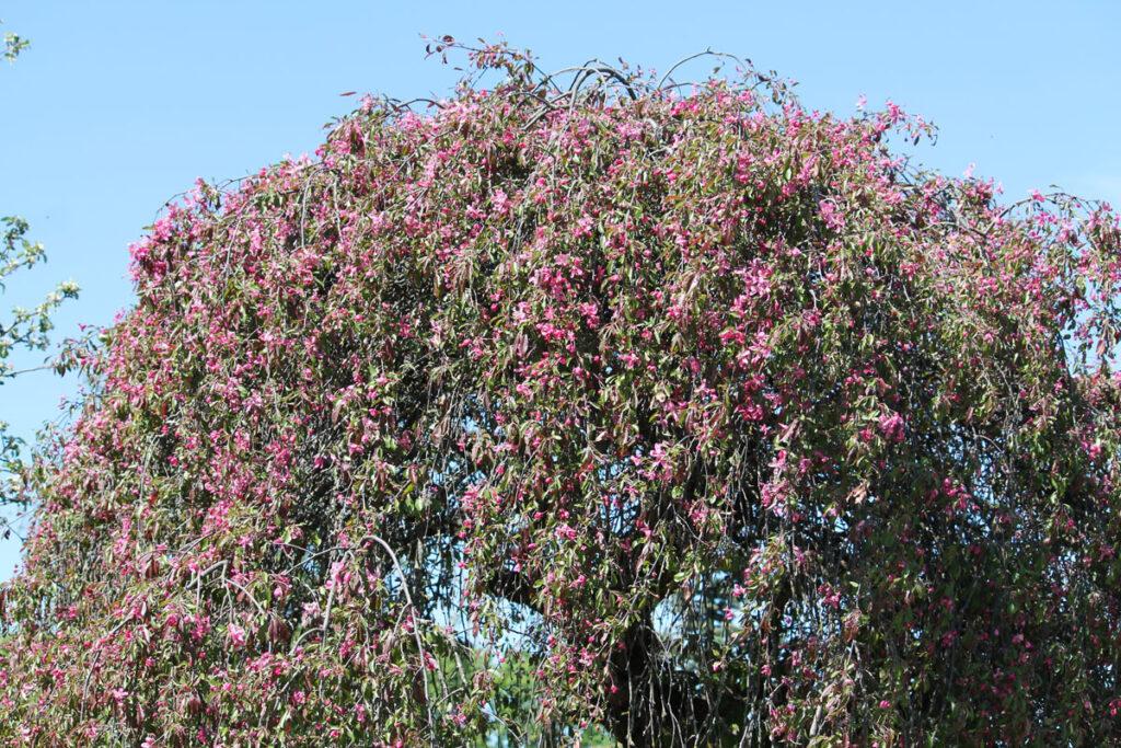 Яблоня пурпурная 'Echtermeyer' (Pendula, Плакучая)