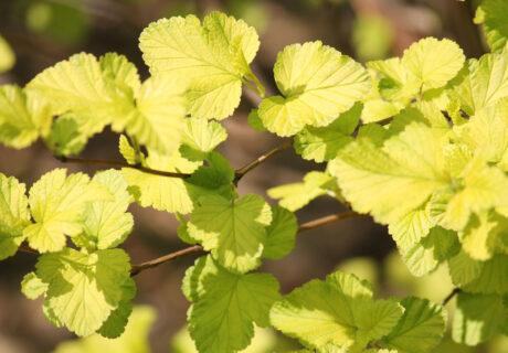 Пузыреплодник калинолистный 'Luteus' (Лютеус, Physocarpus opulifolius 'Luteus')