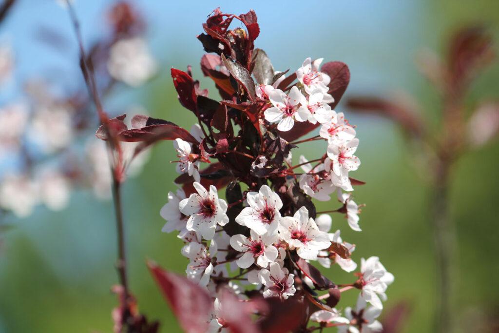 Слива цистена, или Вишня песчаная краснолистная (Prunus × cistena)