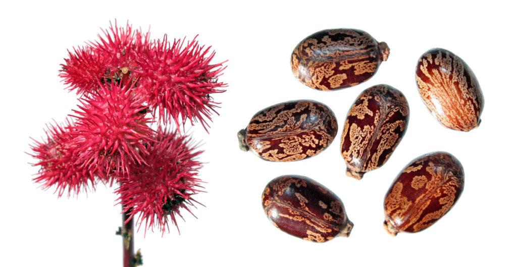Плоды и семена клещевины обыкновенной (Ricinus communis)