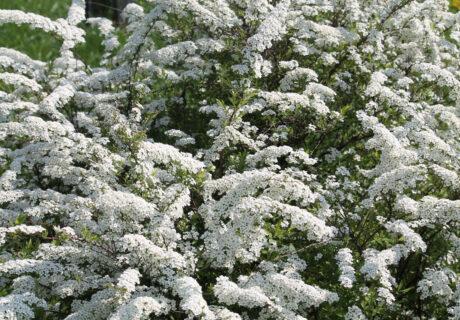 Спирея серая 'Grefsheim' (Грефшейм, Spiraea × cinerea 'Grefsheim')