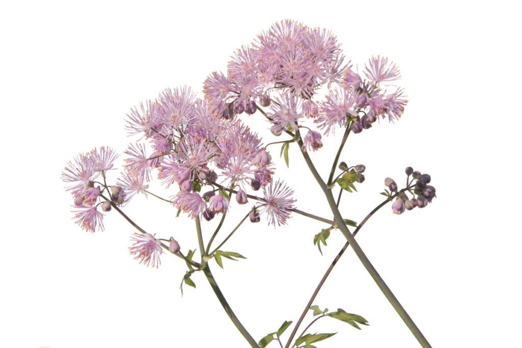 Василистник водосборолистный (Thalictrum aquilegiifolium)