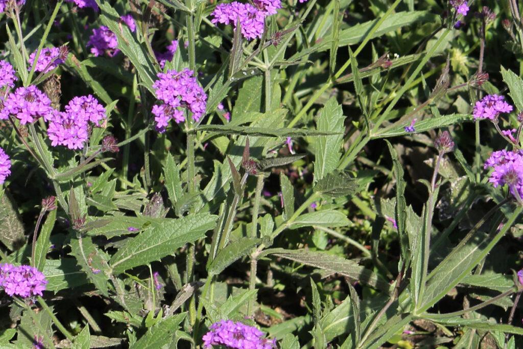 Вербена жесткая (Verbena rigida)